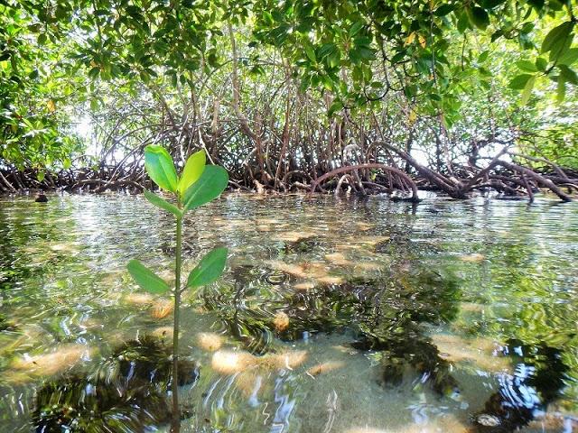 バリ島、レンボンガン島マングローブ