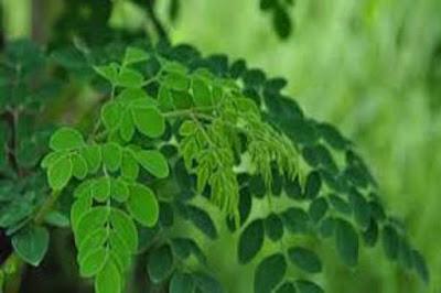 モリンガはバリ島の伝統植物