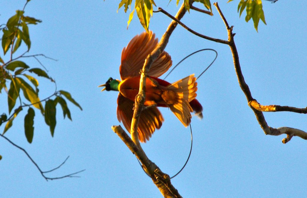 インドネシアのラジャアンパットにいるゴクラクチョウのベニフウチョウ