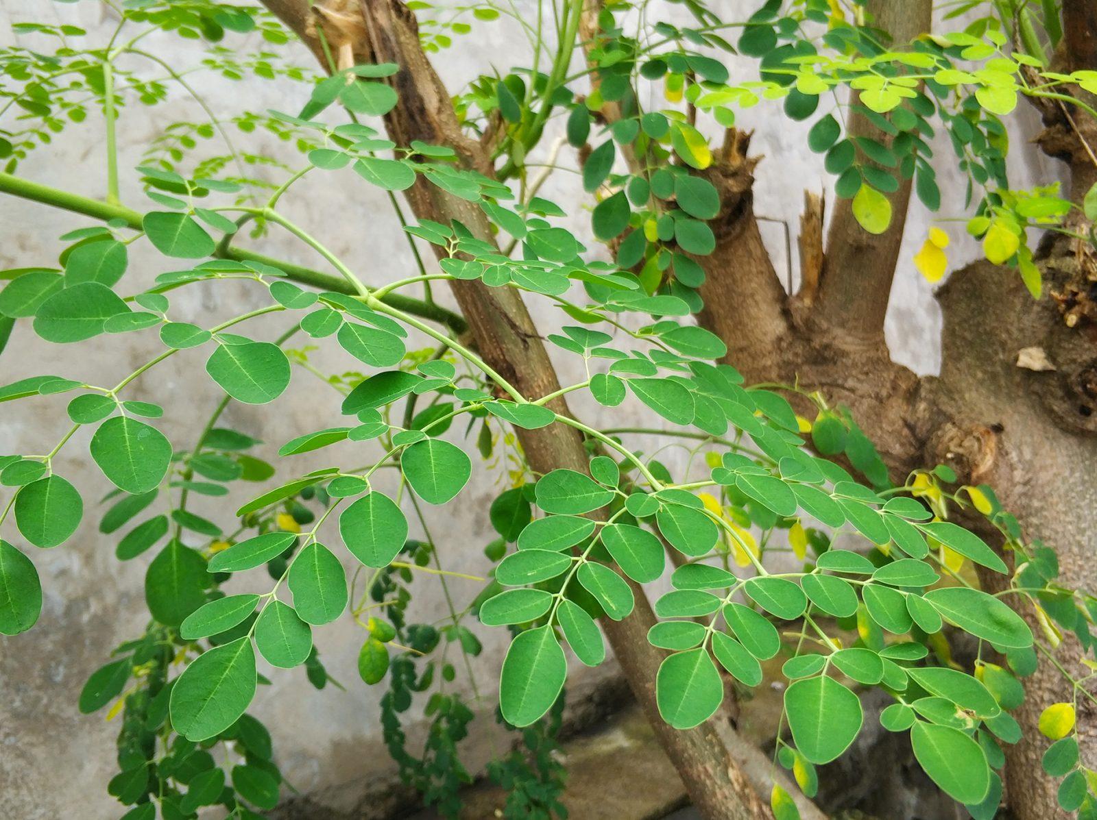 モリンガの木