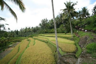 バリ島グヌンカウィのライステラス