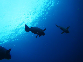 parrotfish3
