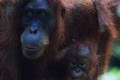 スマトラ島のジャングルでみたオランウタン
