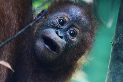 インドネシア、オランウタンの赤ちゃん