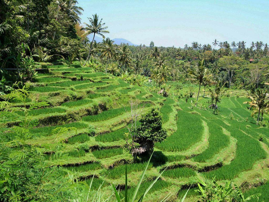 バリ島の美しいライステラス。カスタラ村
