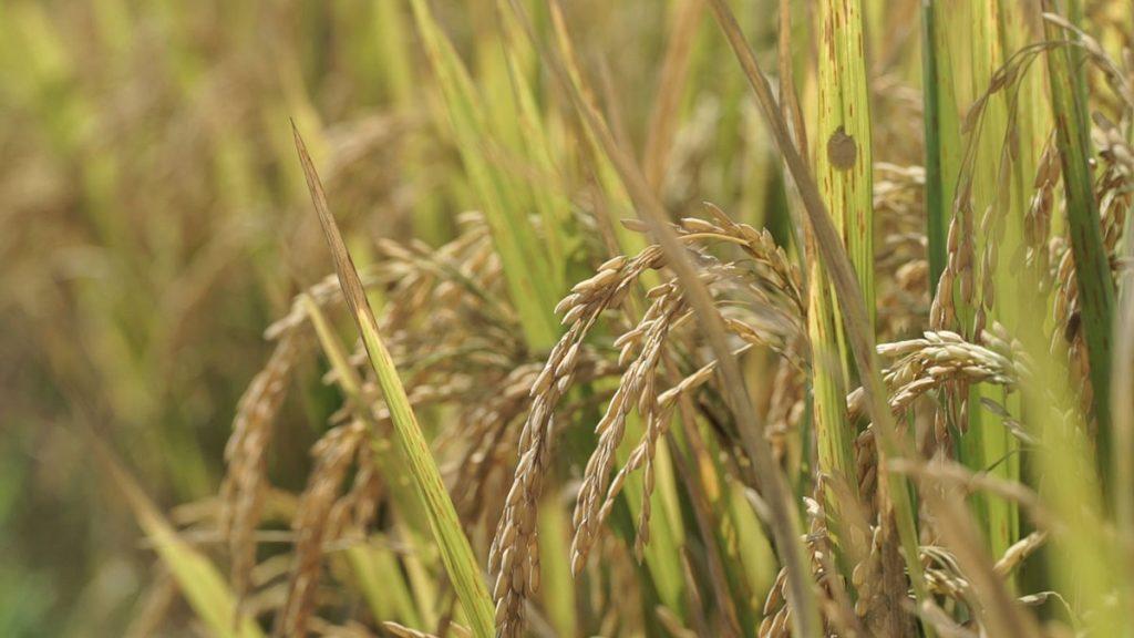 ジャティルウィのお米