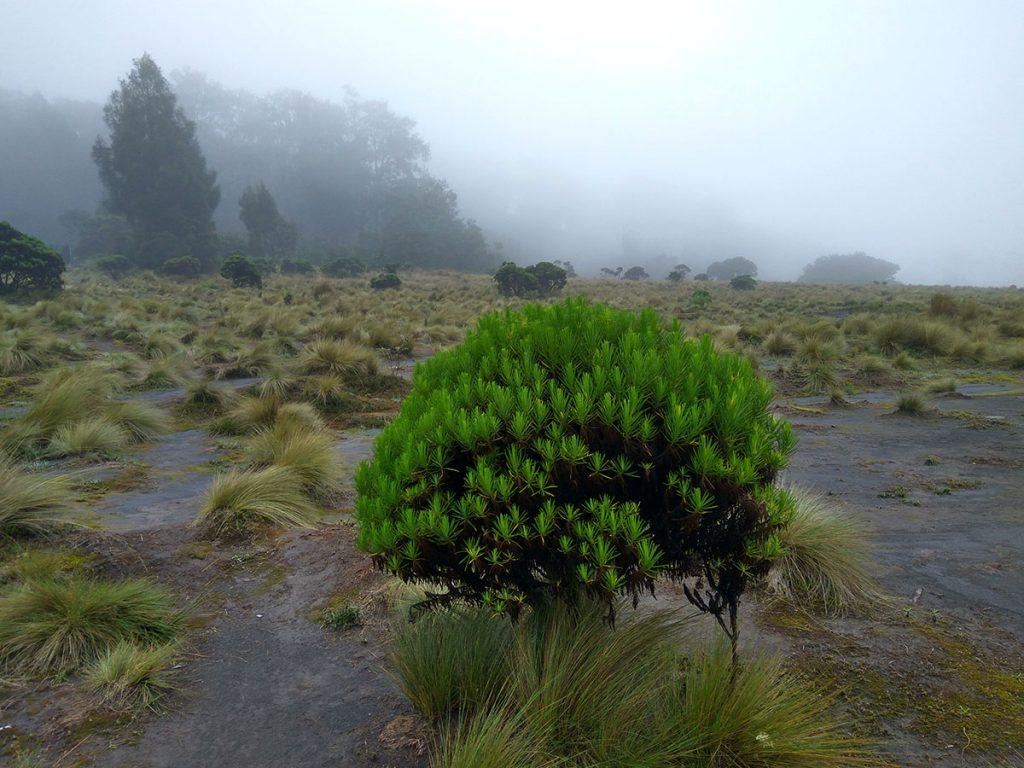 スメル山の松の森