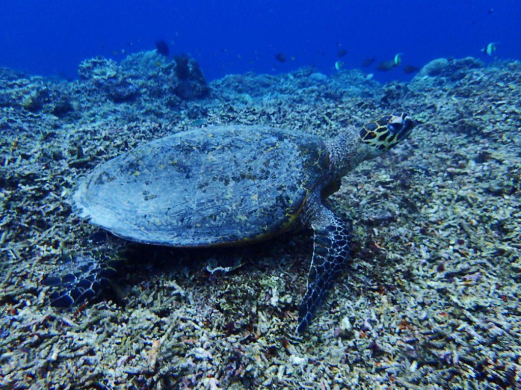 ギリ島ウミガメ