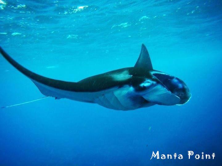 ペニダ島のマンタ