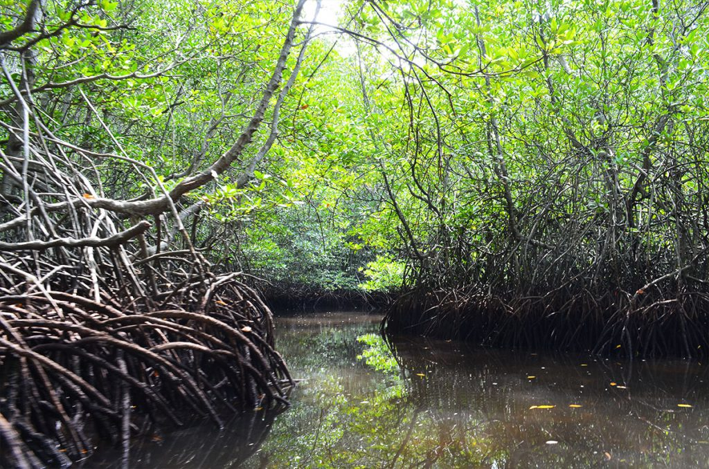 mangrove6