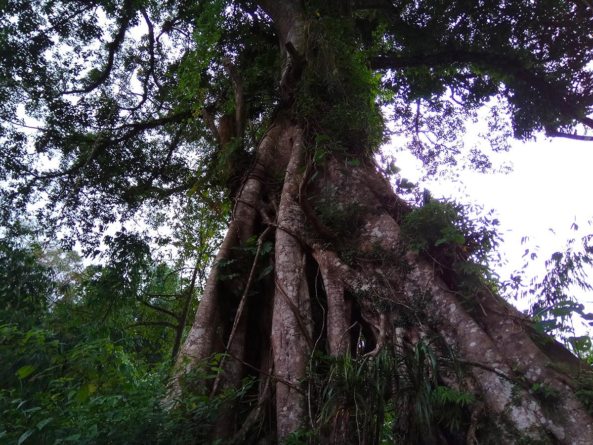 ficus-tree-bali