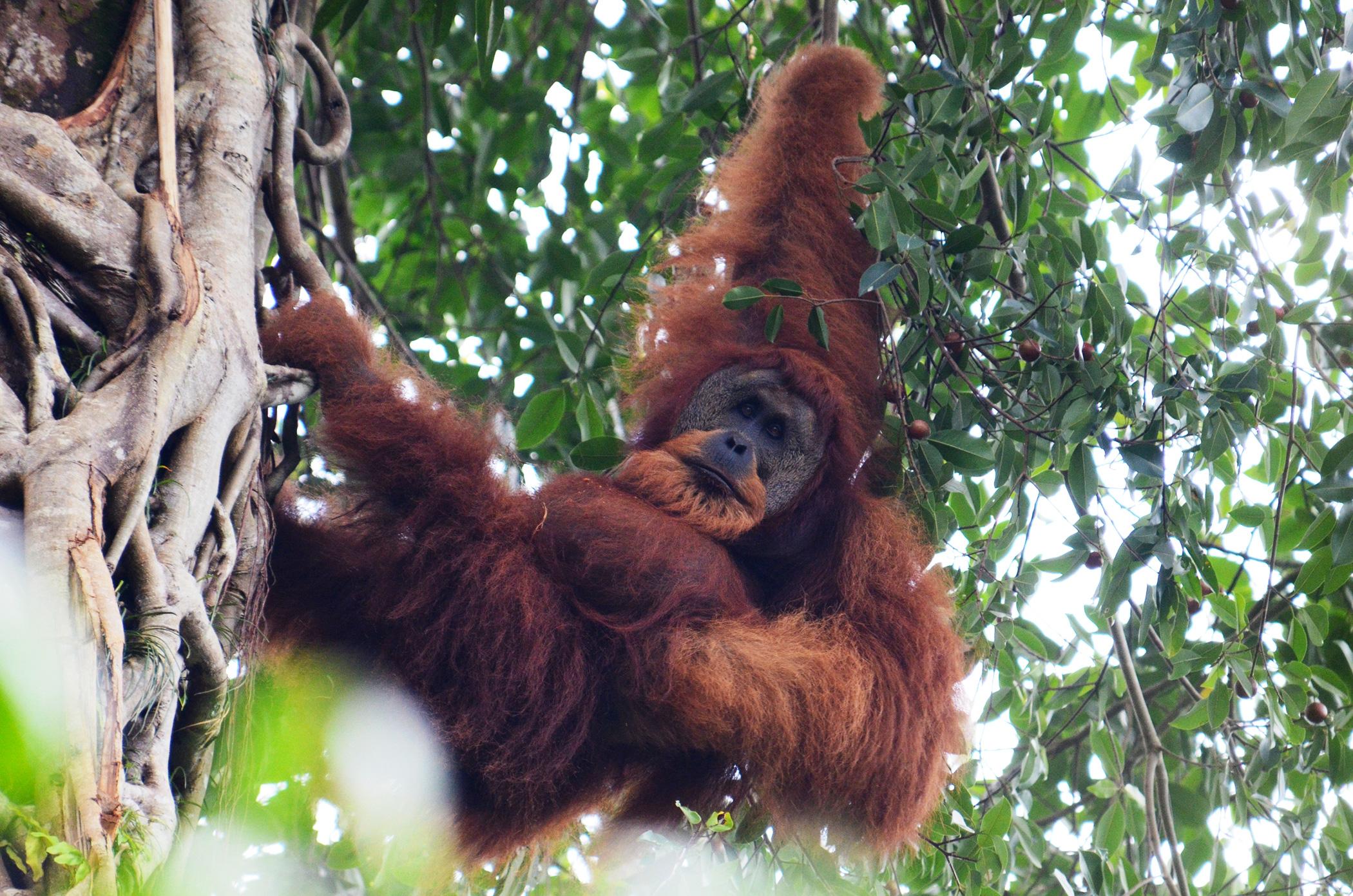 explore-sumatra-orangutan