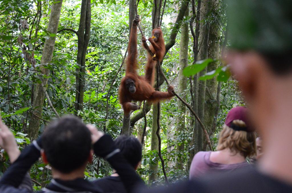 ojiexplorer-sumatera-orangutan2