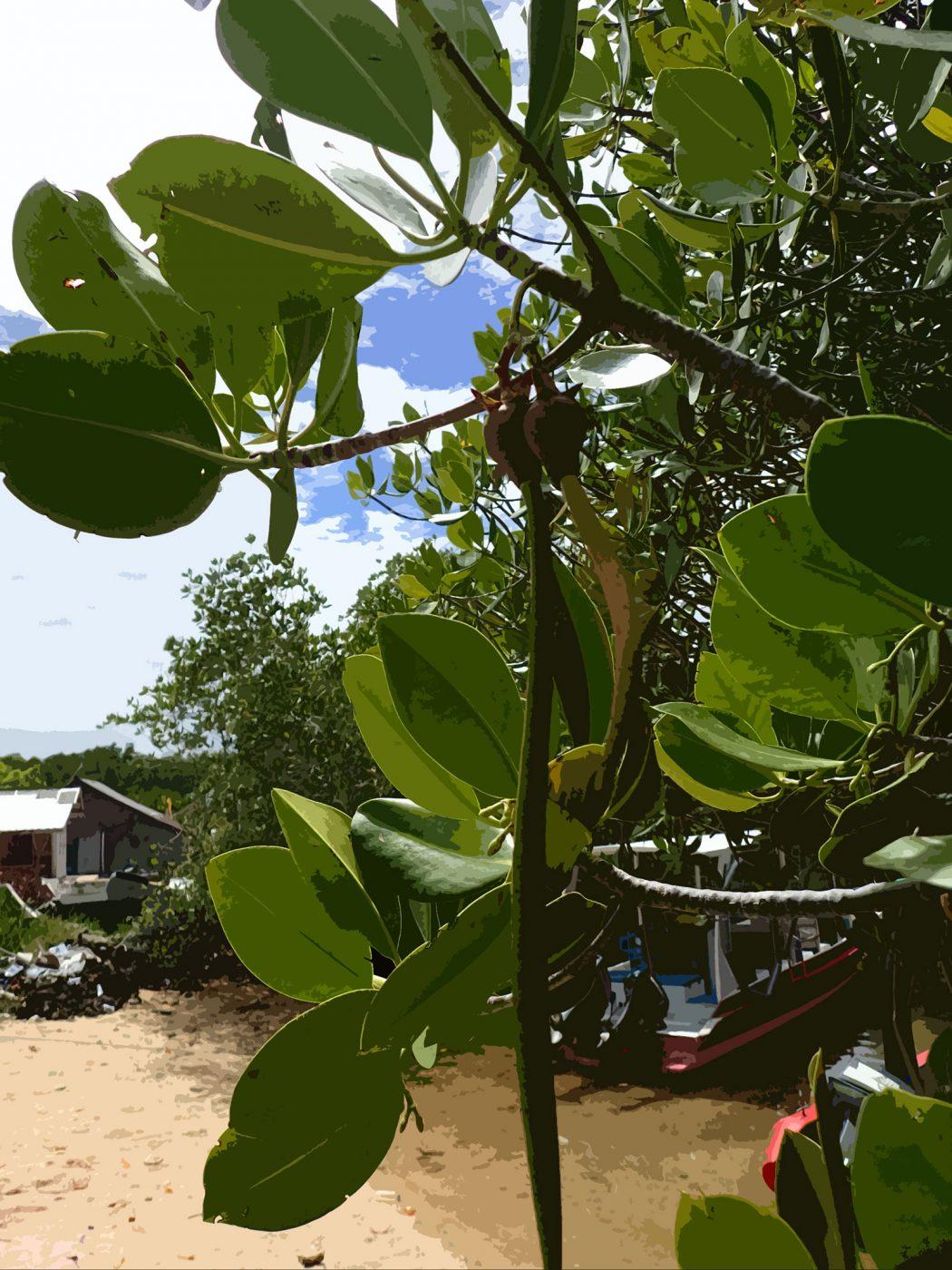 マングローブの種
