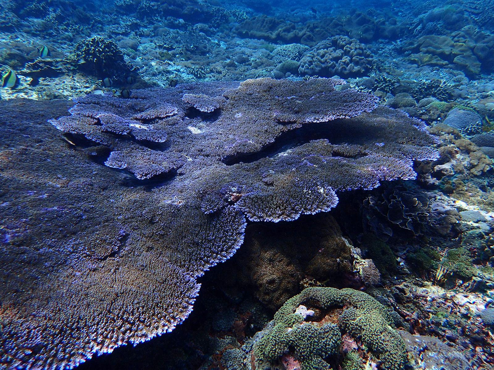 レンボンガン島,サンゴ