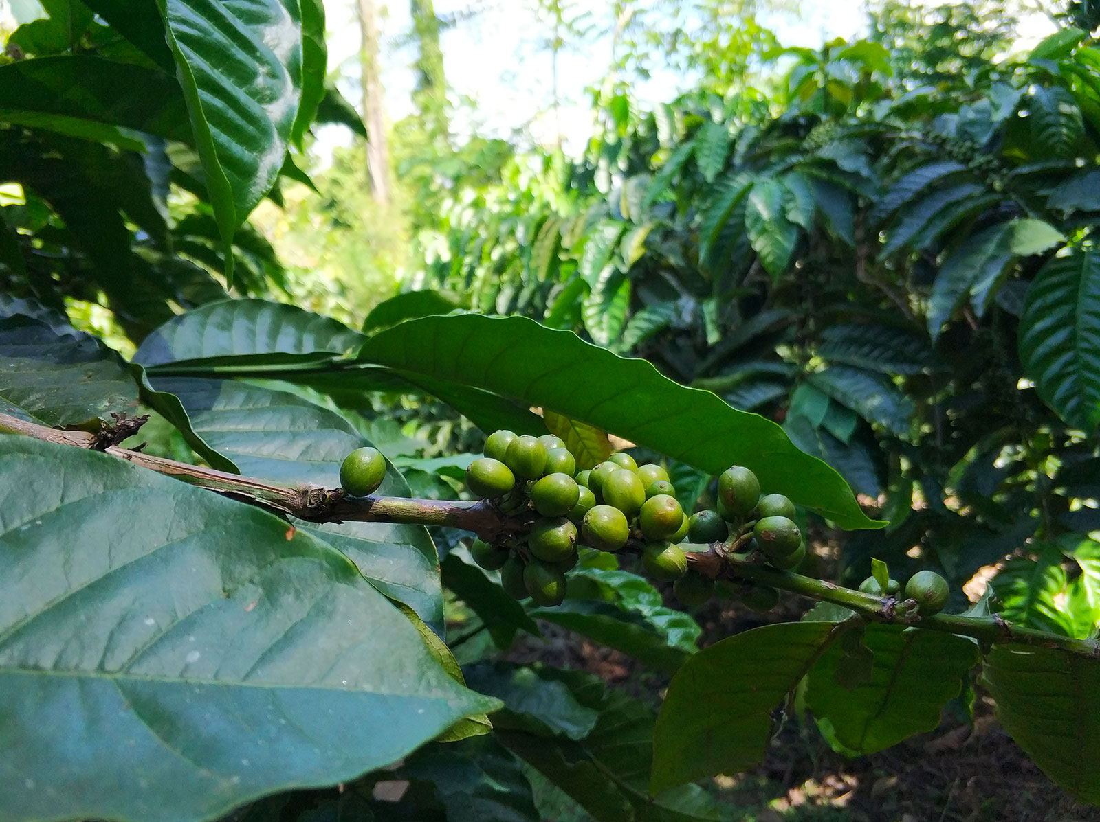 raung-coffee-plantation