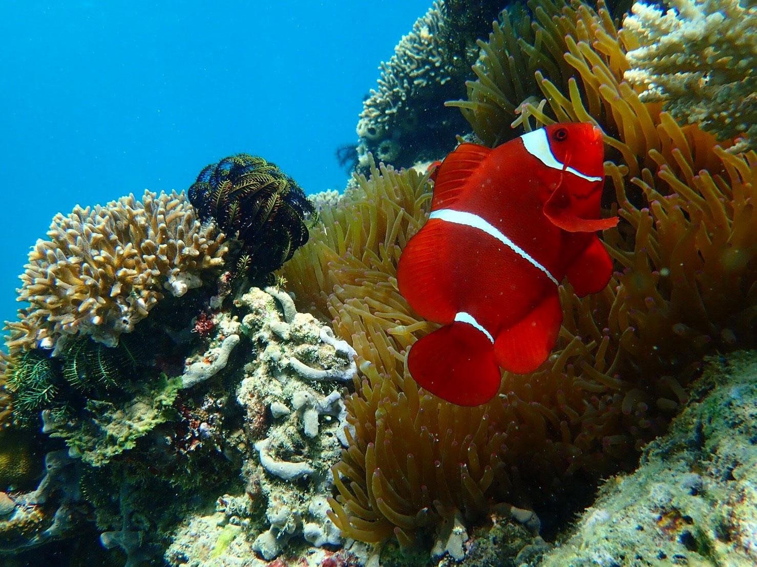 komodo-anemone-fish