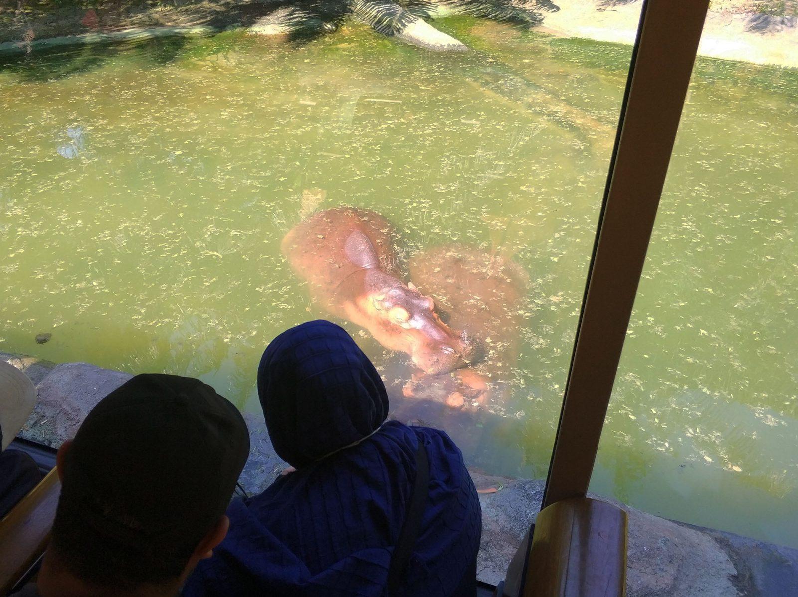 balisafari-hippo