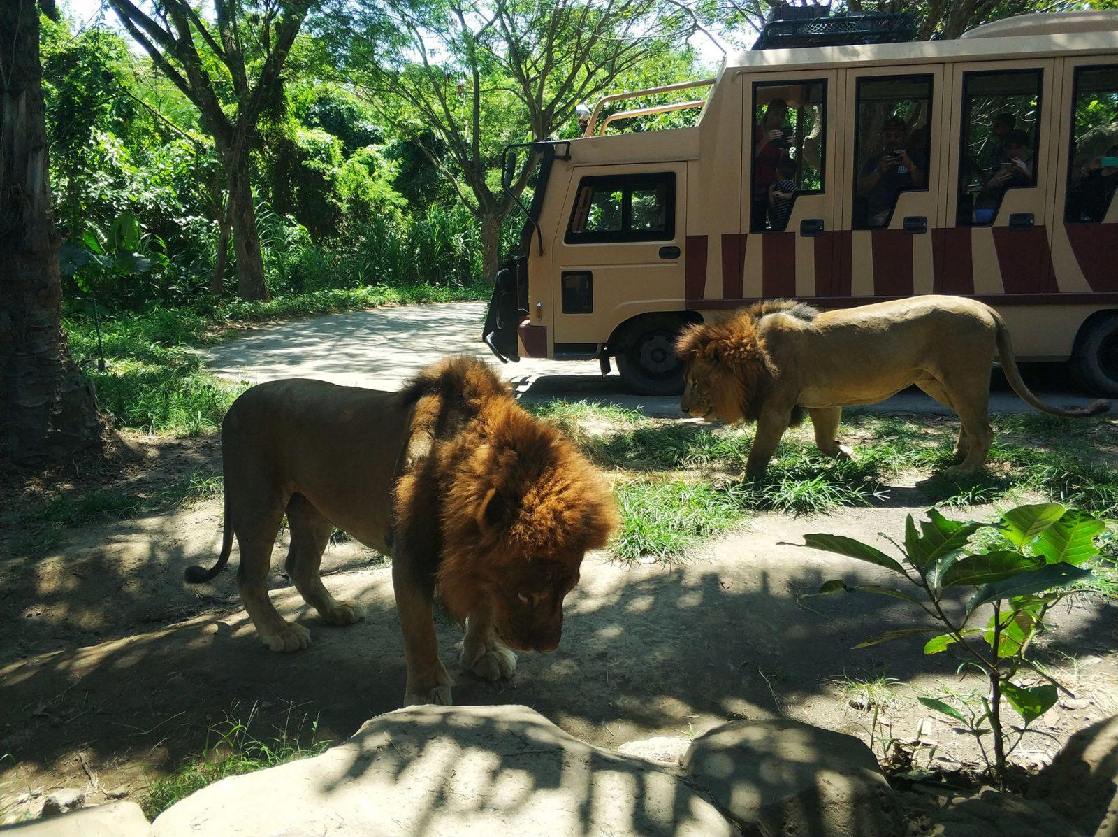 balisafari-lions