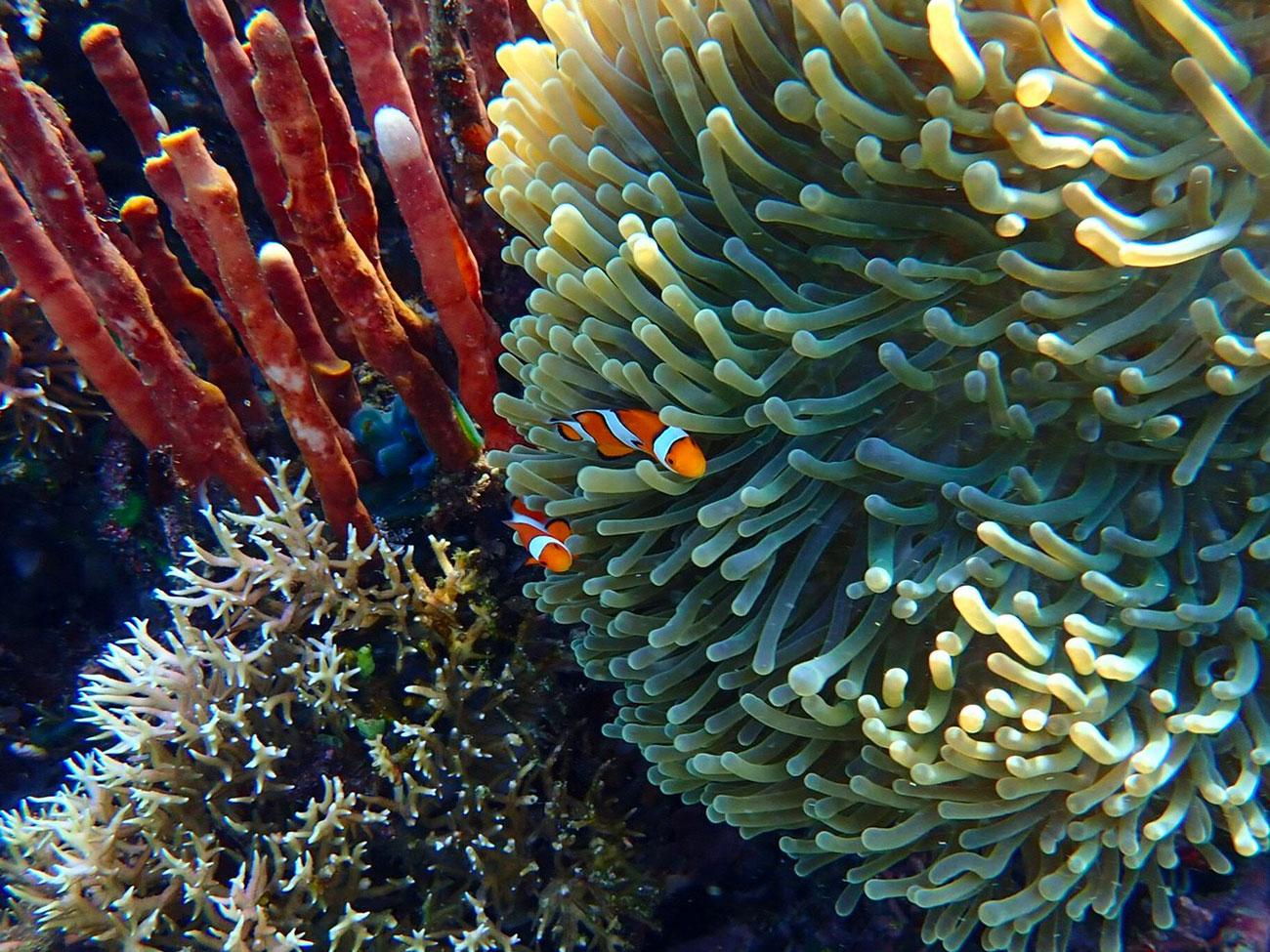 komodo-clownfish