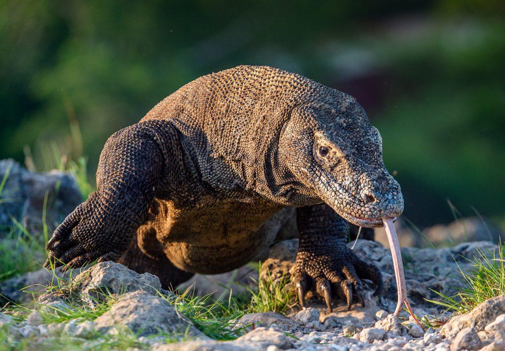 世界最大のオオトカゲのコモドドラゴン