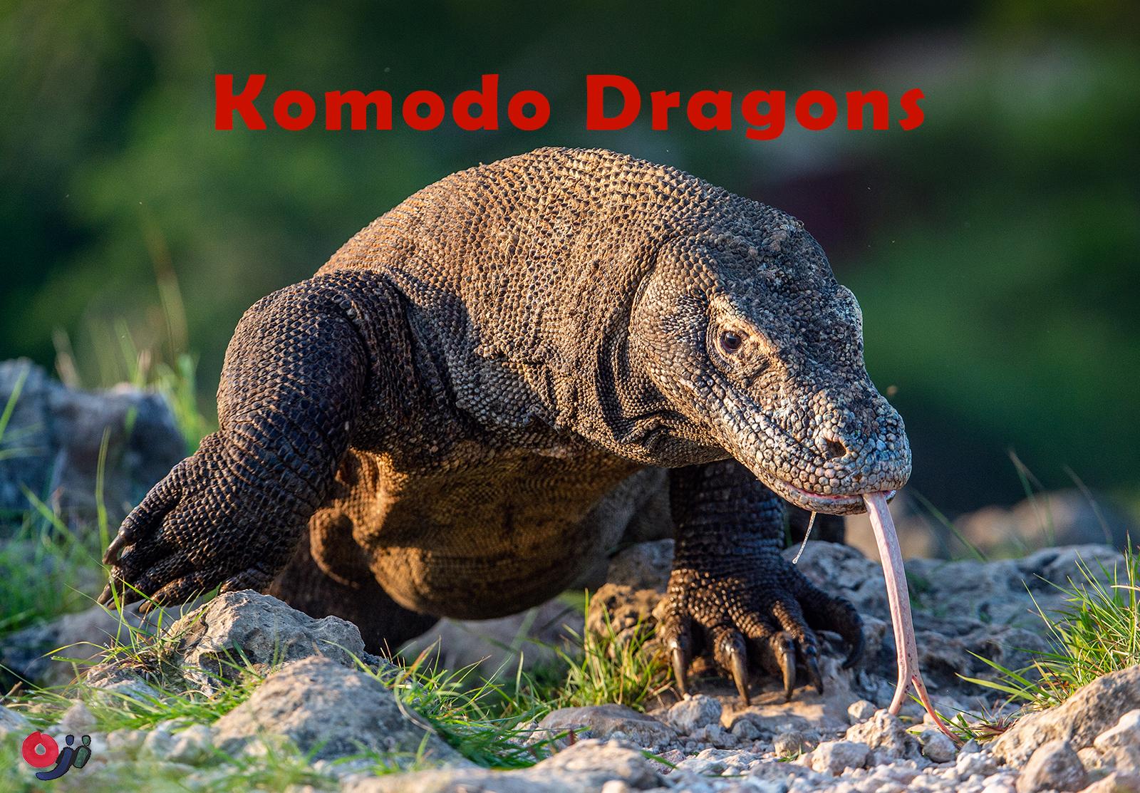コモドドラゴンの生態
