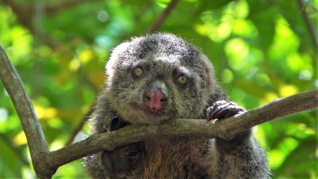 スラウェシ島にいる野生クスクス