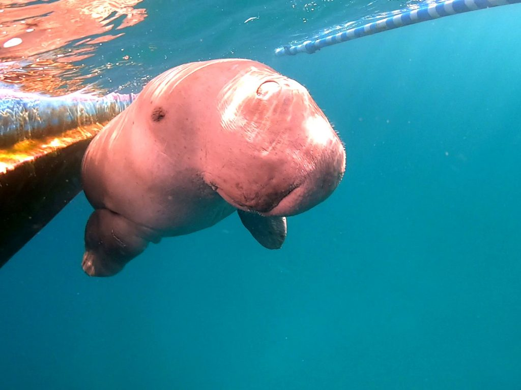 インドネシアのアロール諸島の野生のジュゴン