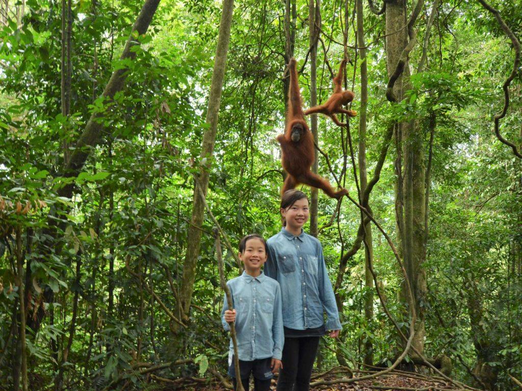 インドネシアスマトラの野生のオランウータン