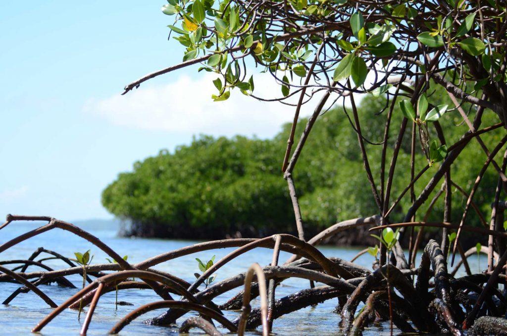 レンボンガン島のマングローブ