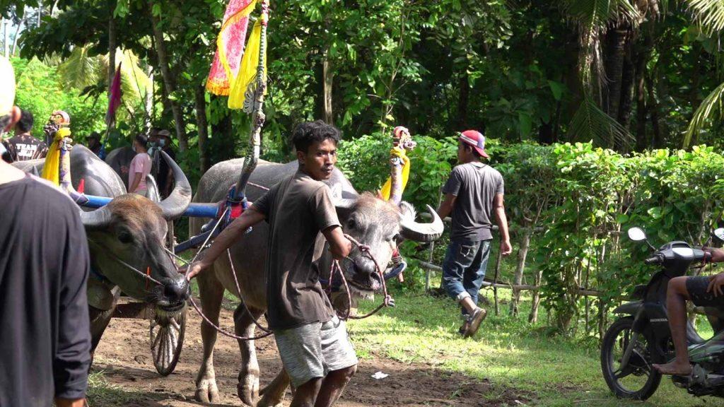 ヌガラ地方の水牛レース
