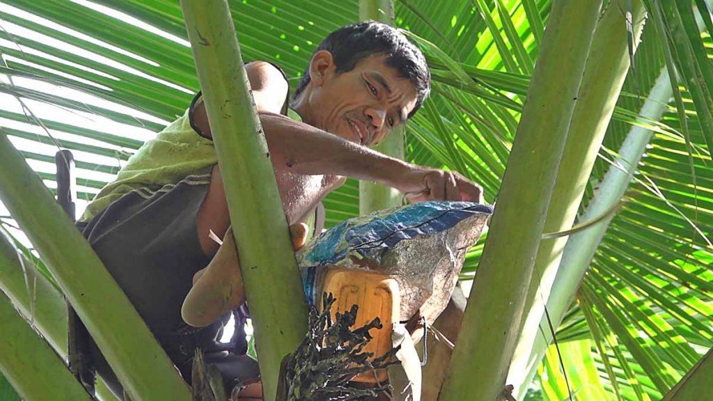 ヤシの木に登り茎液を取る村の人