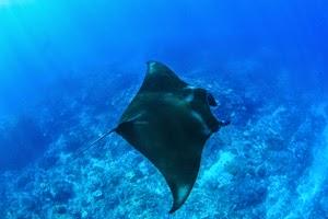 バリ島:レンボンガン島からペニダ島へマンタベイのシュノーケリングツアー