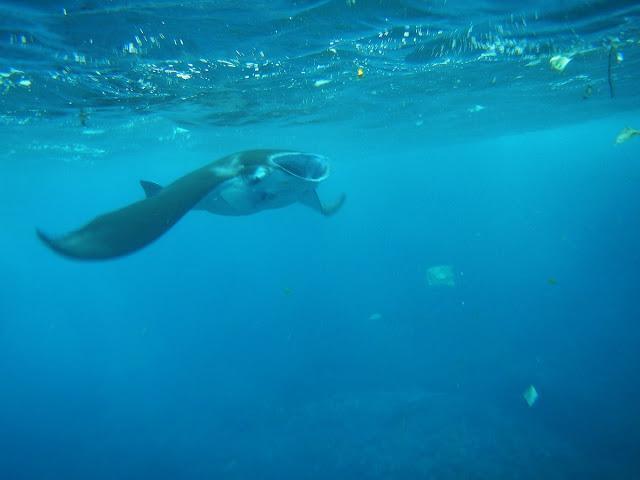 バリ島、レンボンガン島、ペニダ島マンタと泳ぐシュノーケリング